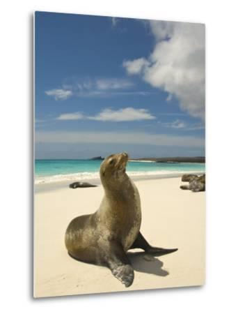 Galapagos Sea Lions Resting on a White Beach-Annie Griffiths Belt-Metal Print