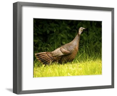 Wild Turkey in a Clearing-Michael Melford-Framed Photographic Print