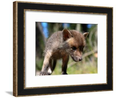 Juvenile Fox Exploring in a Forest-Brooke Whatnall-Framed Photographic Print