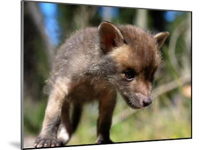 Juvenile Fox Exploring in a Forest-Brooke Whatnall-Mounted Photographic Print