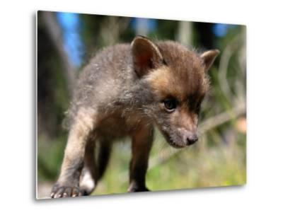 Juvenile Fox Exploring in a Forest-Brooke Whatnall-Metal Print