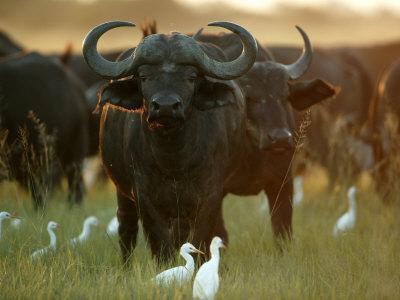 African Buffalo (Syncerus Caffer)-Beverly Joubert-Framed Photographic Print