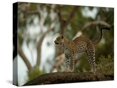 Leopard (Panthera Pardus) Stands on a Tree Branch-Beverly Joubert-Stretched Canvas Print