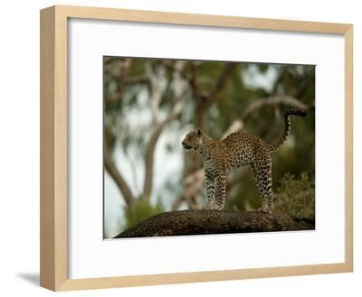 Leopard (Panthera Pardus) Stands on a Tree Branch-Beverly Joubert-Framed Photographic Print