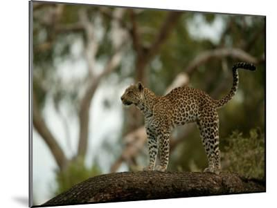 Leopard (Panthera Pardus) Stands on a Tree Branch-Beverly Joubert-Mounted Photographic Print