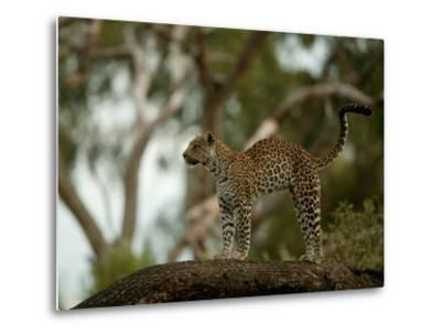 Leopard (Panthera Pardus) Stands on a Tree Branch-Beverly Joubert-Metal Print