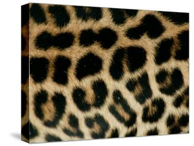 Detail of the Rosette Spots on a Leopard's Coat, Panthera Pardus-Beverly Joubert-Stretched Canvas Print