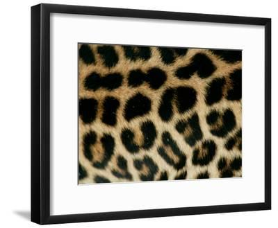 Detail of the Rosette Spots on a Leopard's Coat, Panthera Pardus-Beverly Joubert-Framed Photographic Print
