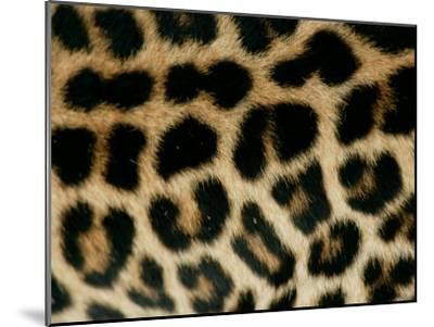 Detail of the Rosette Spots on a Leopard's Coat, Panthera Pardus-Beverly Joubert-Mounted Photographic Print