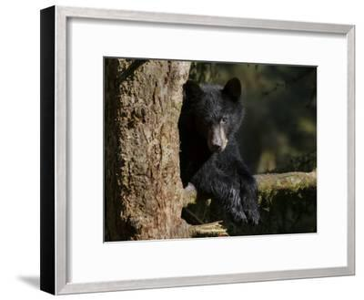 Black Bear on Tree Branch in Tongass National Forest-Melissa Farlow-Framed Photographic Print