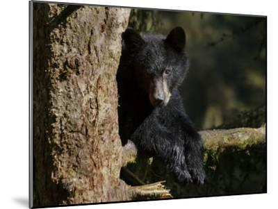 Black Bear on Tree Branch in Tongass National Forest-Melissa Farlow-Mounted Photographic Print