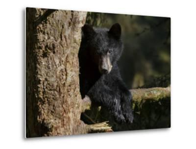 Black Bear on Tree Branch in Tongass National Forest-Melissa Farlow-Metal Print