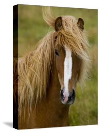Portrait of an Icelandic Horse with it's Mane Blowing in the Wind-Mattias Klum-Stretched Canvas Print