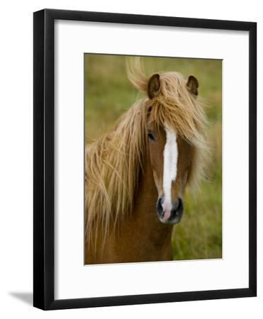 Portrait of an Icelandic Horse with it's Mane Blowing in the Wind-Mattias Klum-Framed Photographic Print