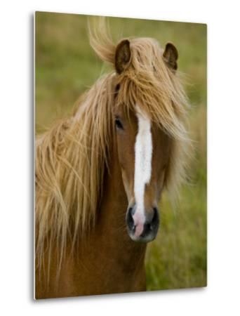 Portrait of an Icelandic Horse with it's Mane Blowing in the Wind-Mattias Klum-Metal Print