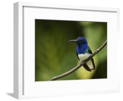 Male White-Necked Jacobin Hummingbird Perched on a Twig-Tim Laman-Framed Photographic Print