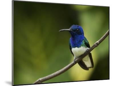 Male White-Necked Jacobin Hummingbird Perched on a Twig-Tim Laman-Mounted Photographic Print
