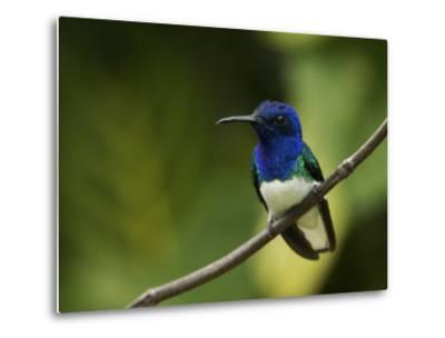 Male White-Necked Jacobin Hummingbird Perched on a Twig-Tim Laman-Metal Print