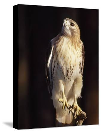 Portrait of a Rehabilitated Captive Red-Tail Hawk-Paul Sutherland-Stretched Canvas Print