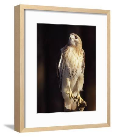Portrait of a Rehabilitated Captive Red-Tail Hawk-Paul Sutherland-Framed Photographic Print
