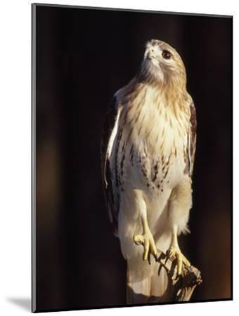 Portrait of a Rehabilitated Captive Red-Tail Hawk-Paul Sutherland-Mounted Photographic Print