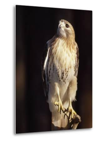 Portrait of a Rehabilitated Captive Red-Tail Hawk-Paul Sutherland-Metal Print