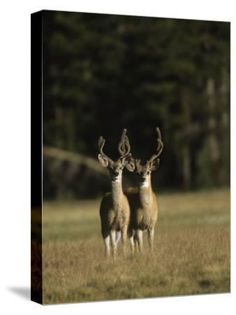 Male Mule Deer, in Velvet, Look Up from Grazing-Tim Laman-Stretched Canvas Print