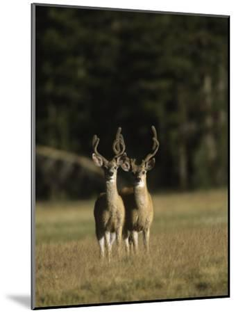Male Mule Deer, in Velvet, Look Up from Grazing-Tim Laman-Mounted Photographic Print