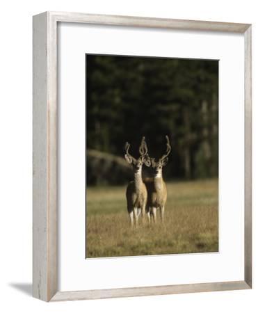 Male Mule Deer, in Velvet, Look Up from Grazing-Tim Laman-Framed Photographic Print