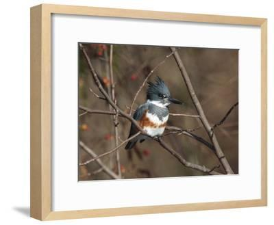 Female Belted Kingfisher Perched on a Branch over Water-George Grall-Framed Photographic Print