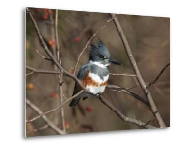 Female Belted Kingfisher Perched on a Branch over Water-George Grall-Metal Print