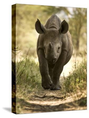 Elvis, a Black Rhino Calf-Michael Polzia-Stretched Canvas Print