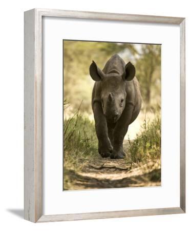 Elvis, a Black Rhino Calf-Michael Polzia-Framed Photographic Print