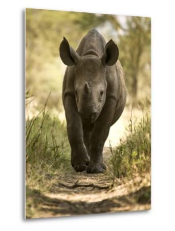 Elvis, a Black Rhino Calf-Michael Polzia-Metal Print