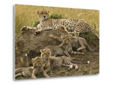 Cheetah Family: Mother and Cubs-Michael Polzia-Metal Print
