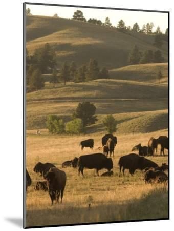 Bison Grazing in Custer State Park, South Dakota-Phil Schermeister-Mounted Photographic Print