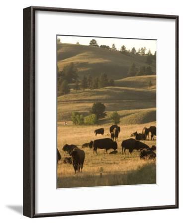 Bison Grazing in Custer State Park, South Dakota-Phil Schermeister-Framed Photographic Print