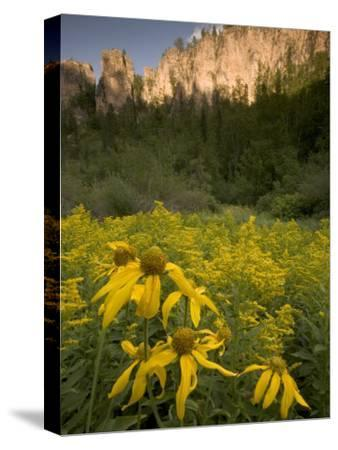 Yellow Wildflowers Growing in Spearfish Canyon, South Dakota-Phil Schermeister-Stretched Canvas Print