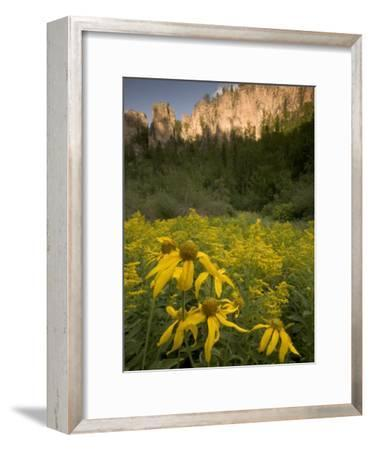 Yellow Wildflowers Growing in Spearfish Canyon, South Dakota-Phil Schermeister-Framed Photographic Print