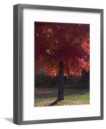 Red Maple Tree on an Autumn Day Silhouettes by the Sun-Taylor S^ Kennedy-Framed Photographic Print