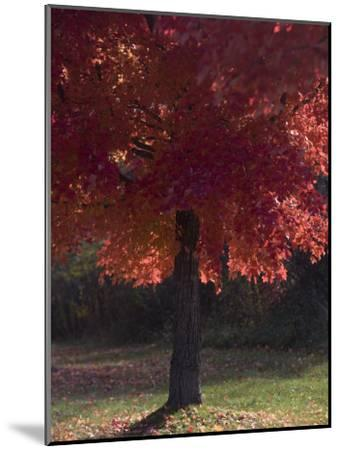 Red Maple Tree on an Autumn Day Silhouettes by the Sun-Taylor S^ Kennedy-Mounted Photographic Print