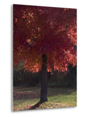Red Maple Tree on an Autumn Day Silhouettes by the Sun-Taylor S^ Kennedy-Metal Print