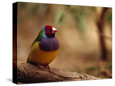 Brilliant Plumage of an Endangered Gouldian Finch Roosting-Jason Edwards-Stretched Canvas Print