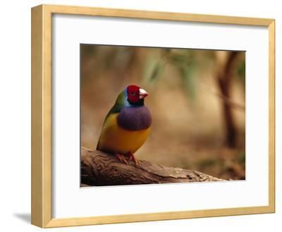Brilliant Plumage of an Endangered Gouldian Finch Roosting-Jason Edwards-Framed Photographic Print