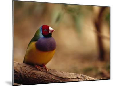 Brilliant Plumage of an Endangered Gouldian Finch Roosting-Jason Edwards-Mounted Photographic Print