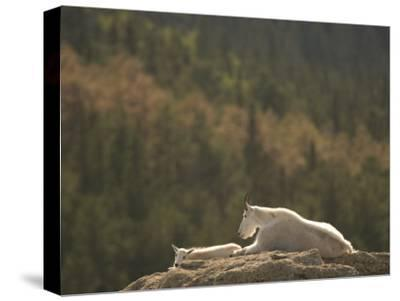 Two Mountain Goats Lying on Rock Formations in Custer State Park-Phil Schermeister-Stretched Canvas Print