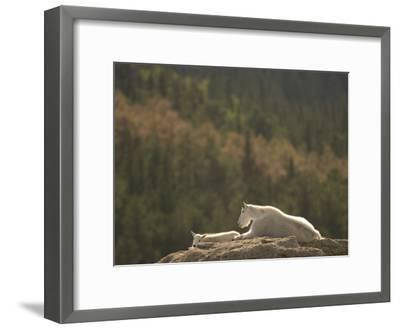 Two Mountain Goats Lying on Rock Formations in Custer State Park-Phil Schermeister-Framed Photographic Print