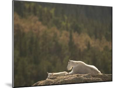 Two Mountain Goats Lying on Rock Formations in Custer State Park-Phil Schermeister-Mounted Photographic Print