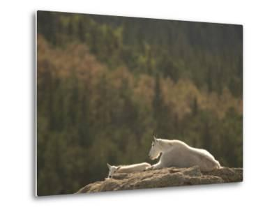 Two Mountain Goats Lying on Rock Formations in Custer State Park-Phil Schermeister-Metal Print