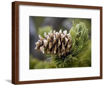 Close Up of a Bristlecone Pine-Scott Warren-Framed Photographic Print
